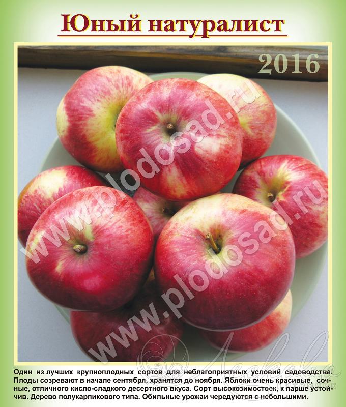 Яблоня сорт поливитаминное описание фото